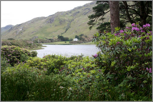 Rhododendron am Kylemore Lake